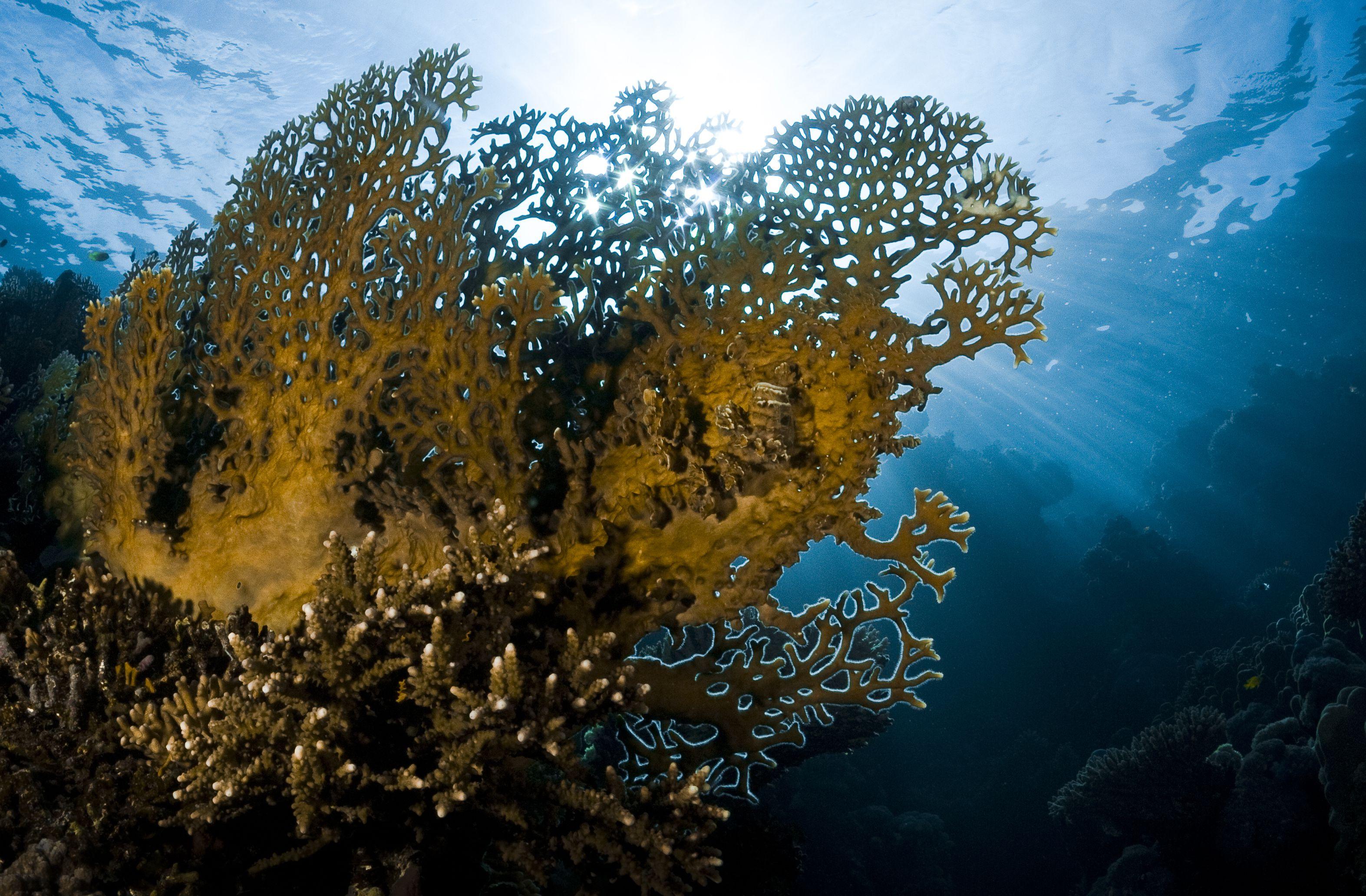 Back lit fire coral