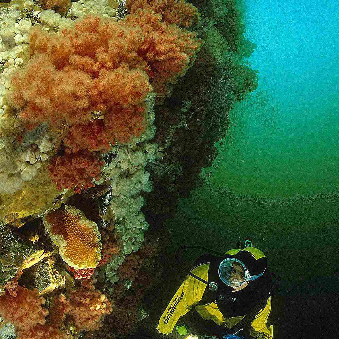 A diver wearing a drysuit investigates cold water coral formations