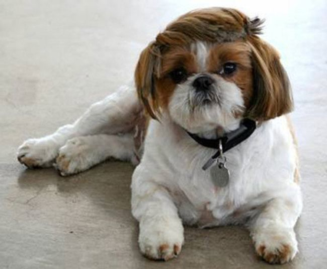 Dog with a side-swept haircut