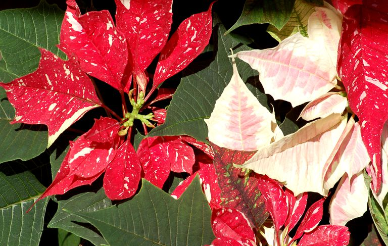 Pink and speckled poinsettias