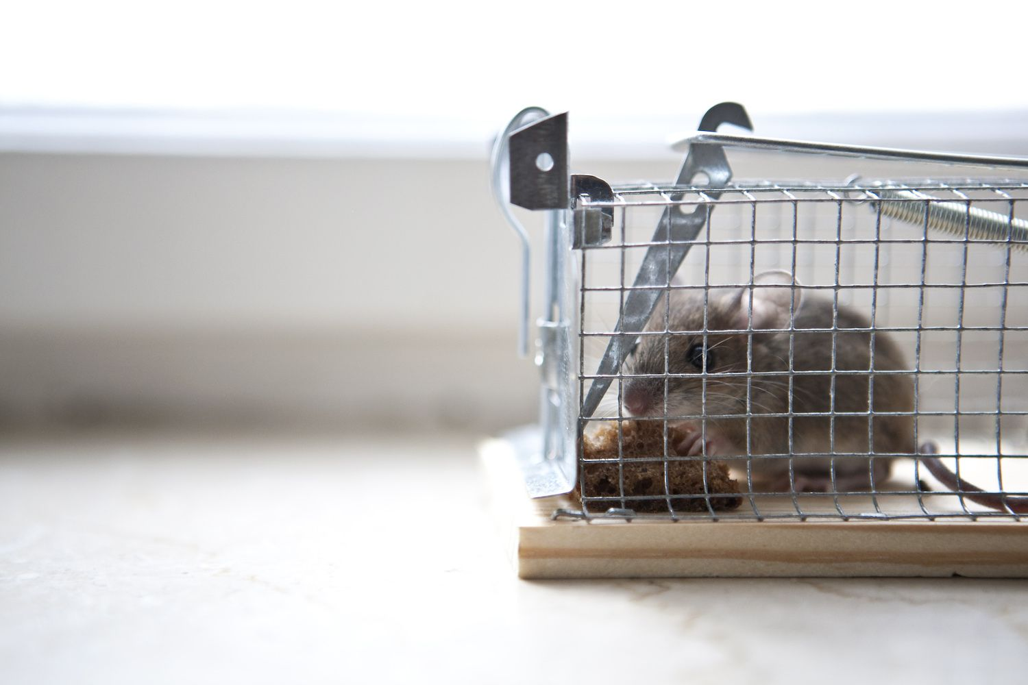 Trapped mouse eating some bread