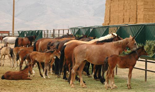 wild horses, wild horse pictures, Nevada wild horses, BLM wild horse burro program