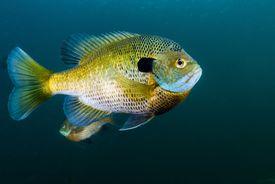 Bluegill sunfish school in Lake Phoenix, Virginia.