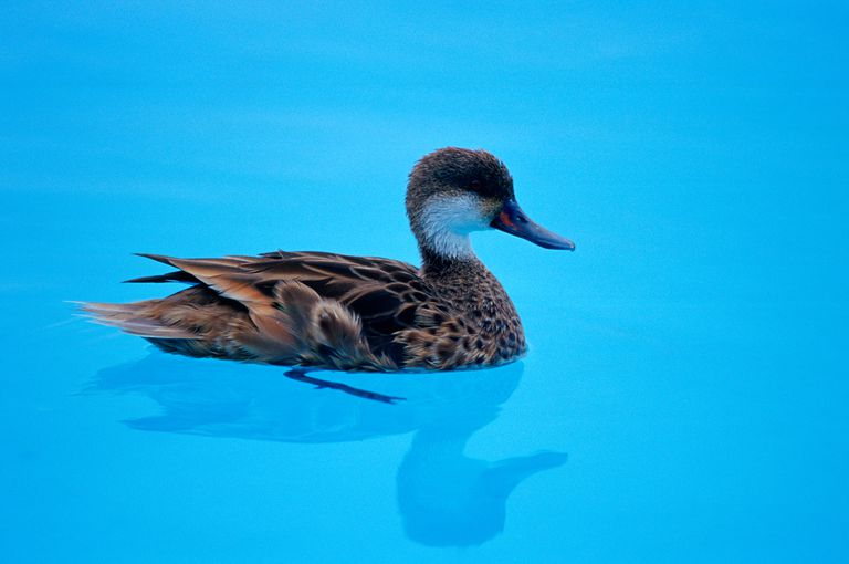 Duck in Swimming Pool, Galapagos Isles