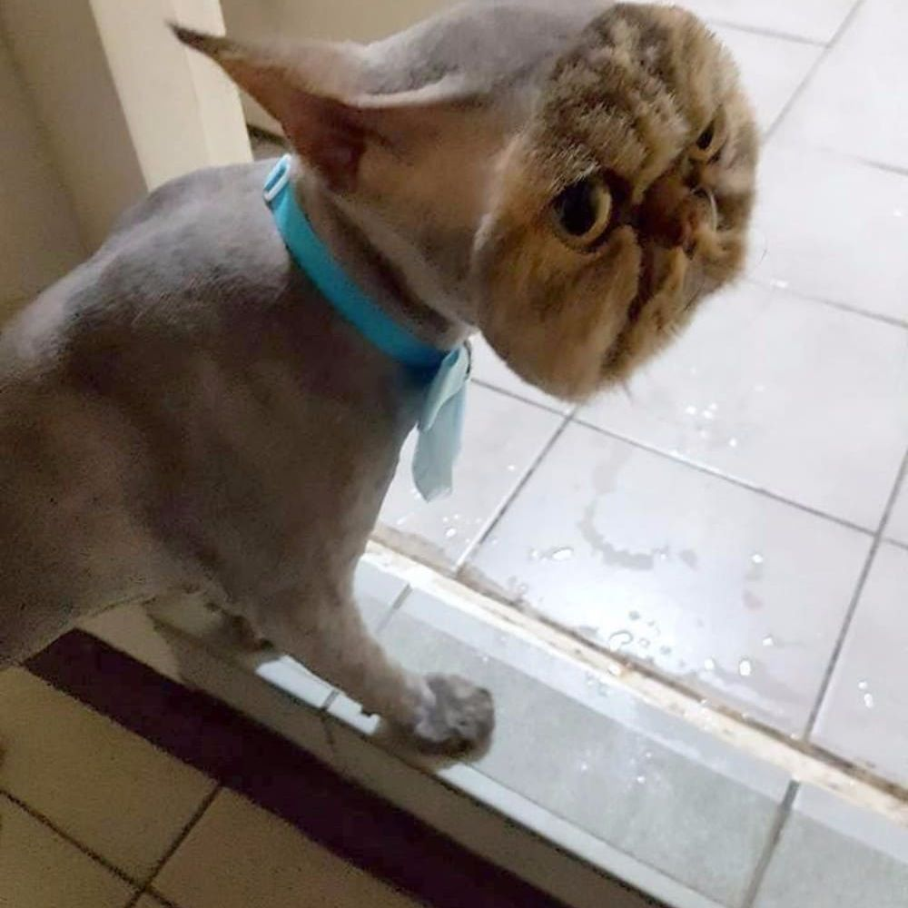 A cat with a strange haircut