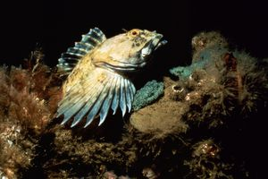 At 85 below the surface, a male Cabezon (Scorpaenichthys marmoratus) guards his turquoise eggs. For weeks, this cabezon was watched. One day the eggs were gone and so was their protective father. Not too long after that there was an explosion of bab