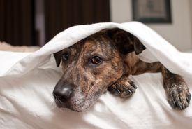 Brindle boxer hiding under covers