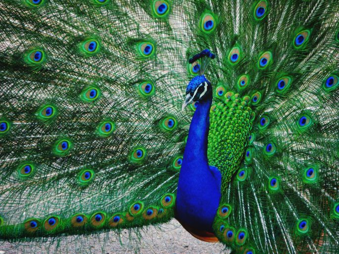 A peacock showing off its feathers.