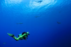 Oceania, Micronesia, Yap, Diver with grey reef sharks, Carcharhinus amblyrhynchos