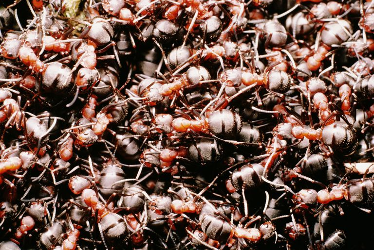 A mount of ants