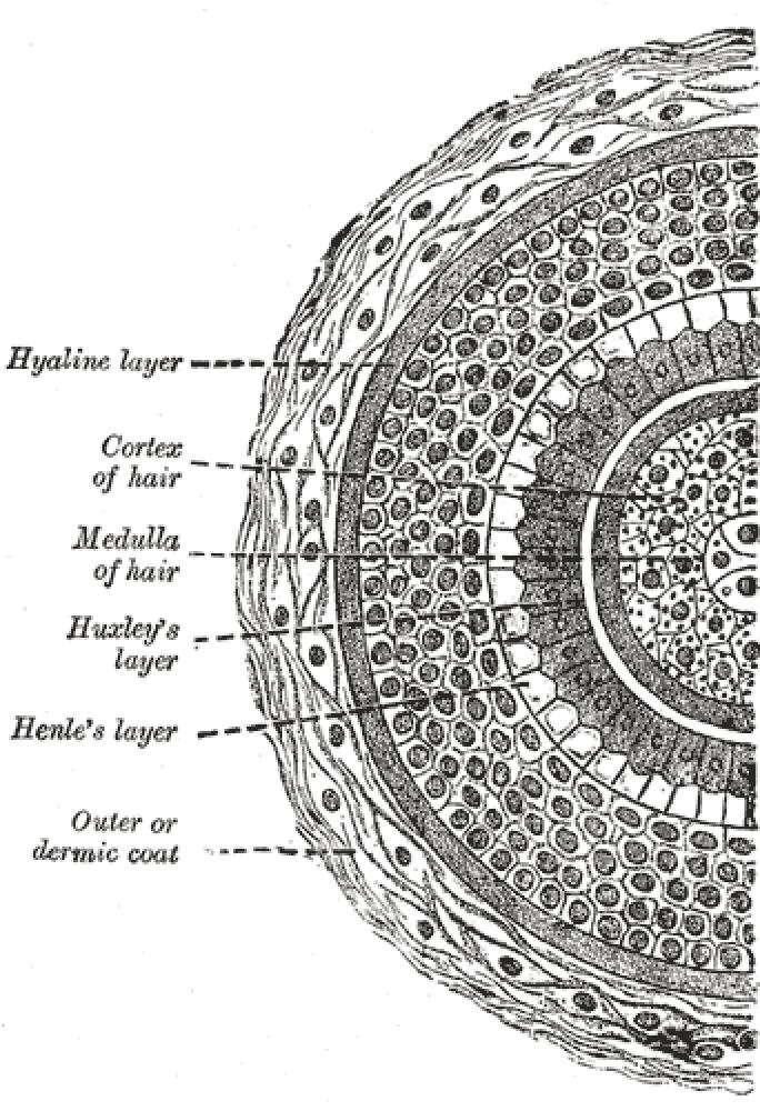 Cross section of hair follicle