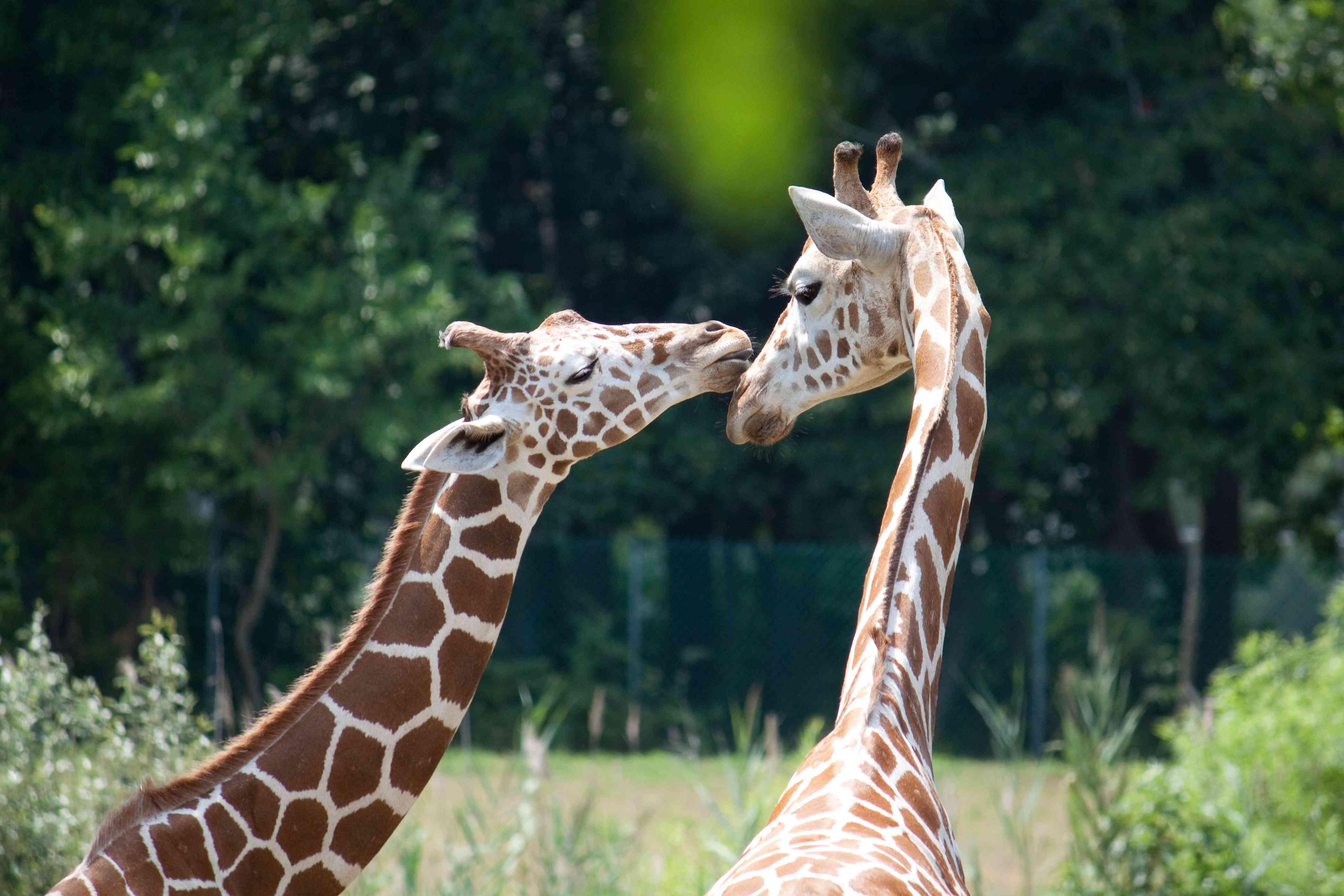 Giraffes showing affection