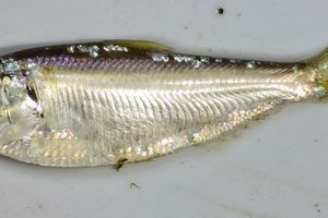 The Threadfin Shad