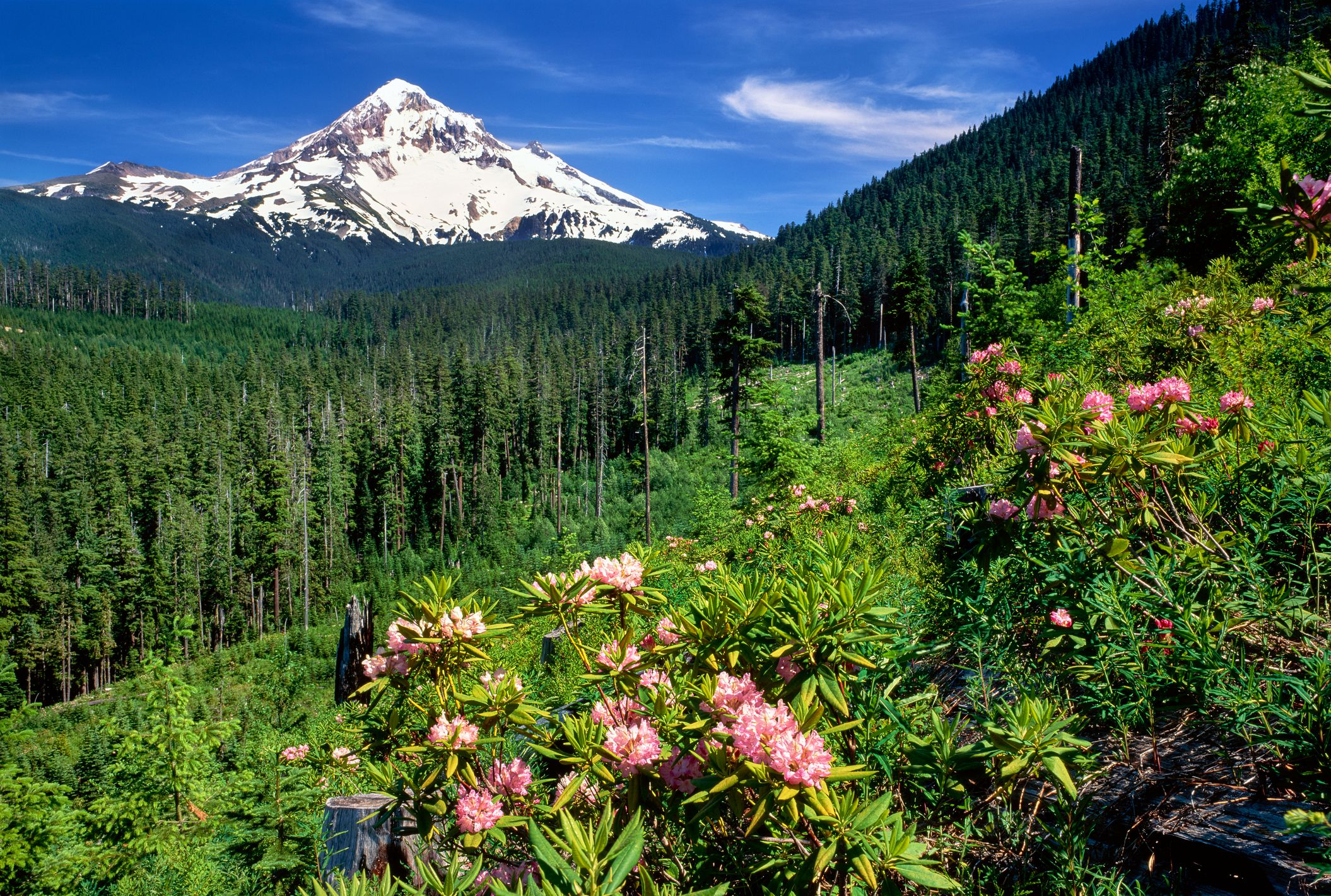 Rhodendron flowers blooming on plant with mountain range in the background, Mt Hood, Lolo Pass, Mt Hood National Forest, Oregon, USA