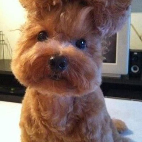Dog with a bouffant hairdo