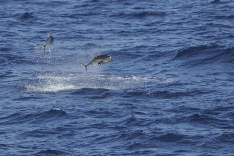 Tuna Chasing Flying Fish