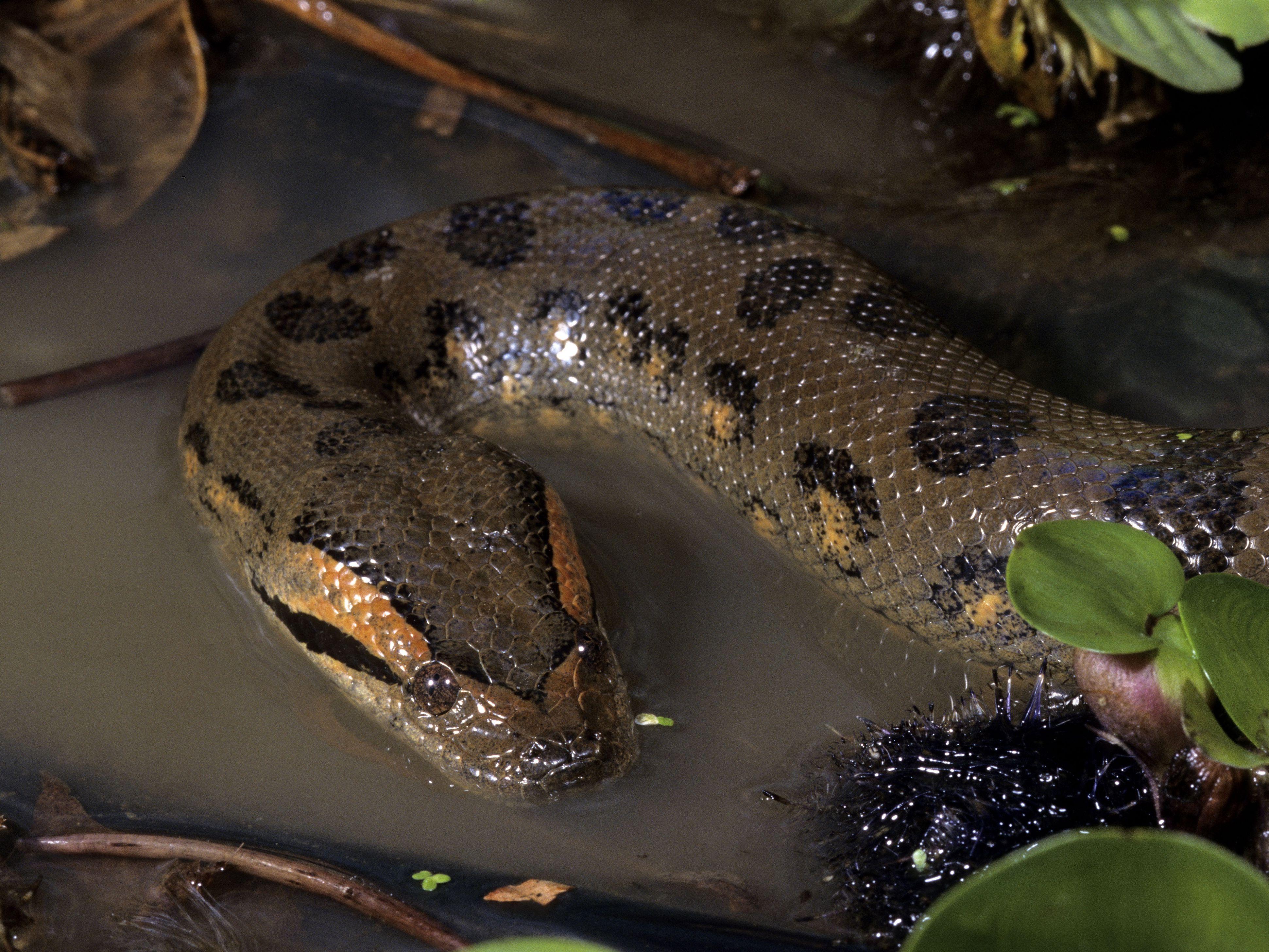 Urban Legend: How to Survive an Anaconda Attack