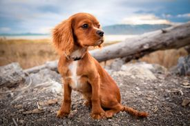 Color photo of a dog in a nature setting.