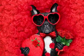 Boston terrier with heart glasses on holding a box of chocolates and roses surrounded by rose petals