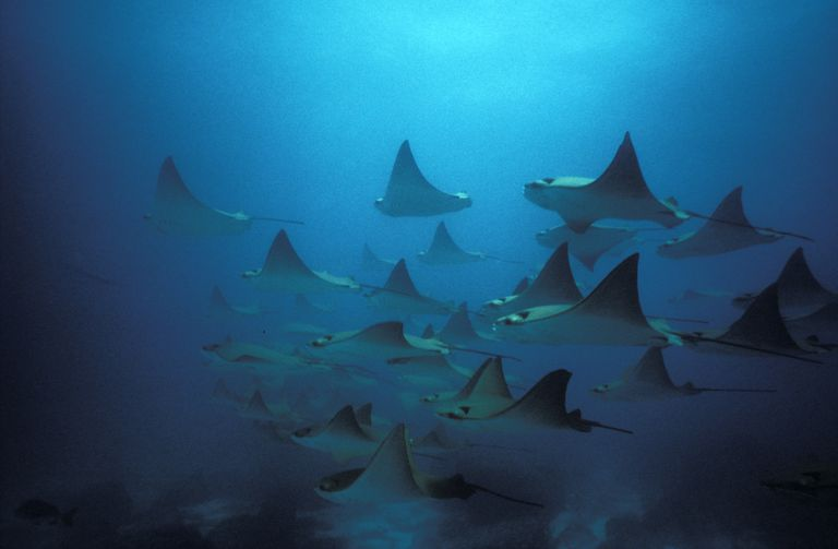 Schooling Bat Rays, Myliobatus californica, Redondo Rock, Galapagos Islands