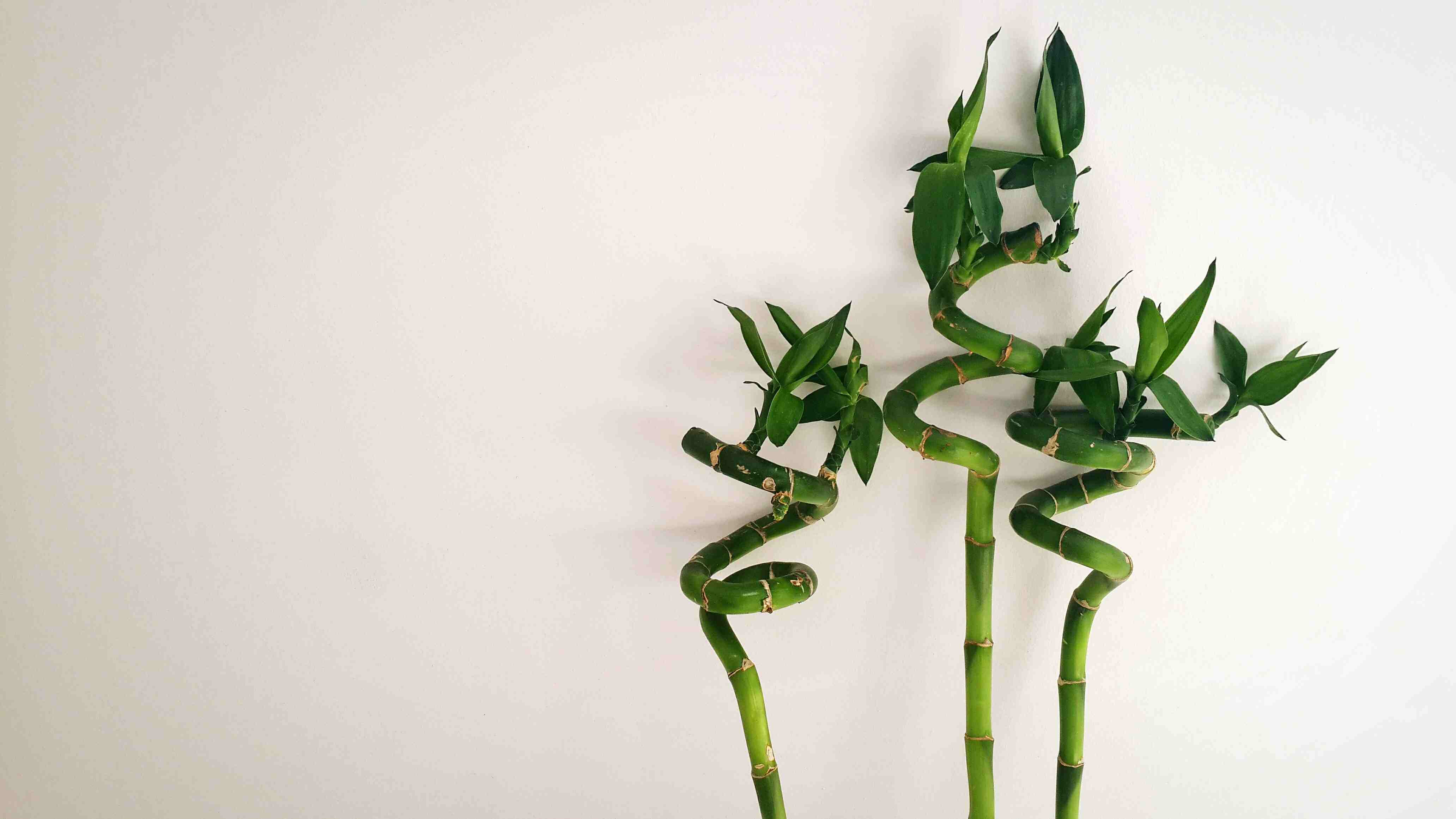 Close-Up Of Lucky Bamboo Against White Background