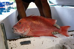 Unloading Red Snapper, Francis bay.