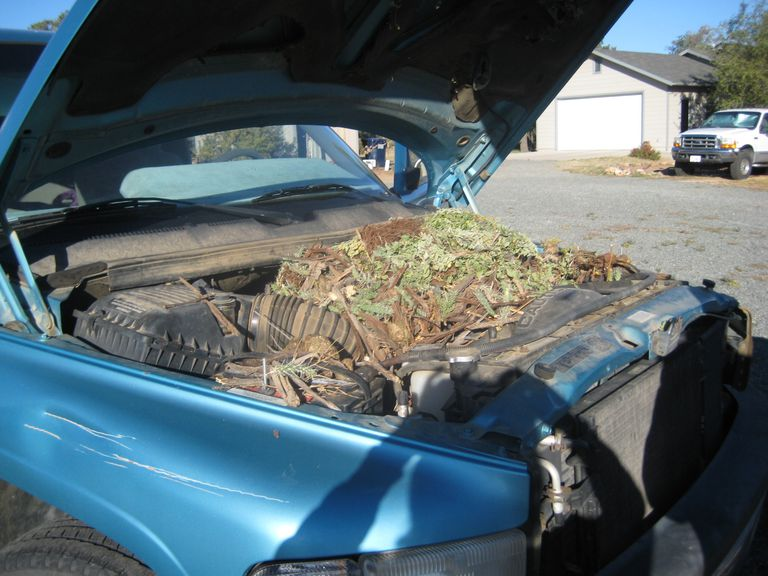 Tips for Keeping Pack Rats out of Your Car