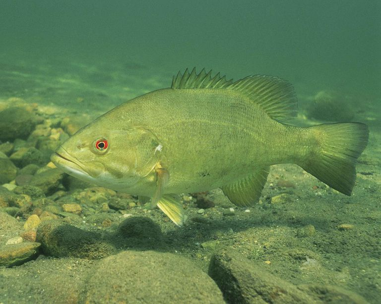 Bass fish swimming