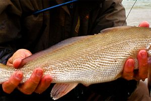The crafty corbina is considered by many onshore anglers to be the king of the southern California surf zone.