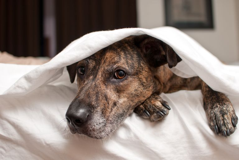 Brindle boxer hiding under covers