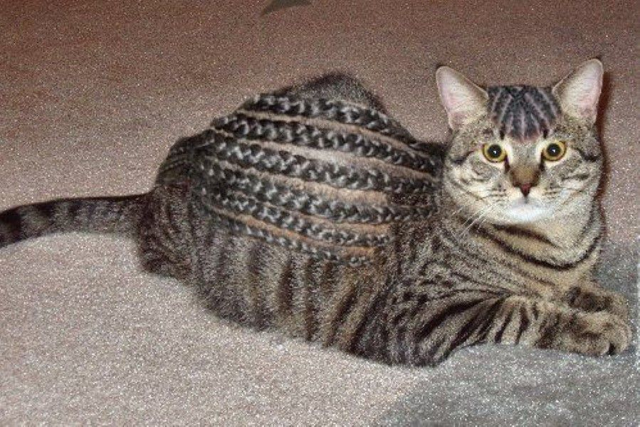 Cat with cornrows