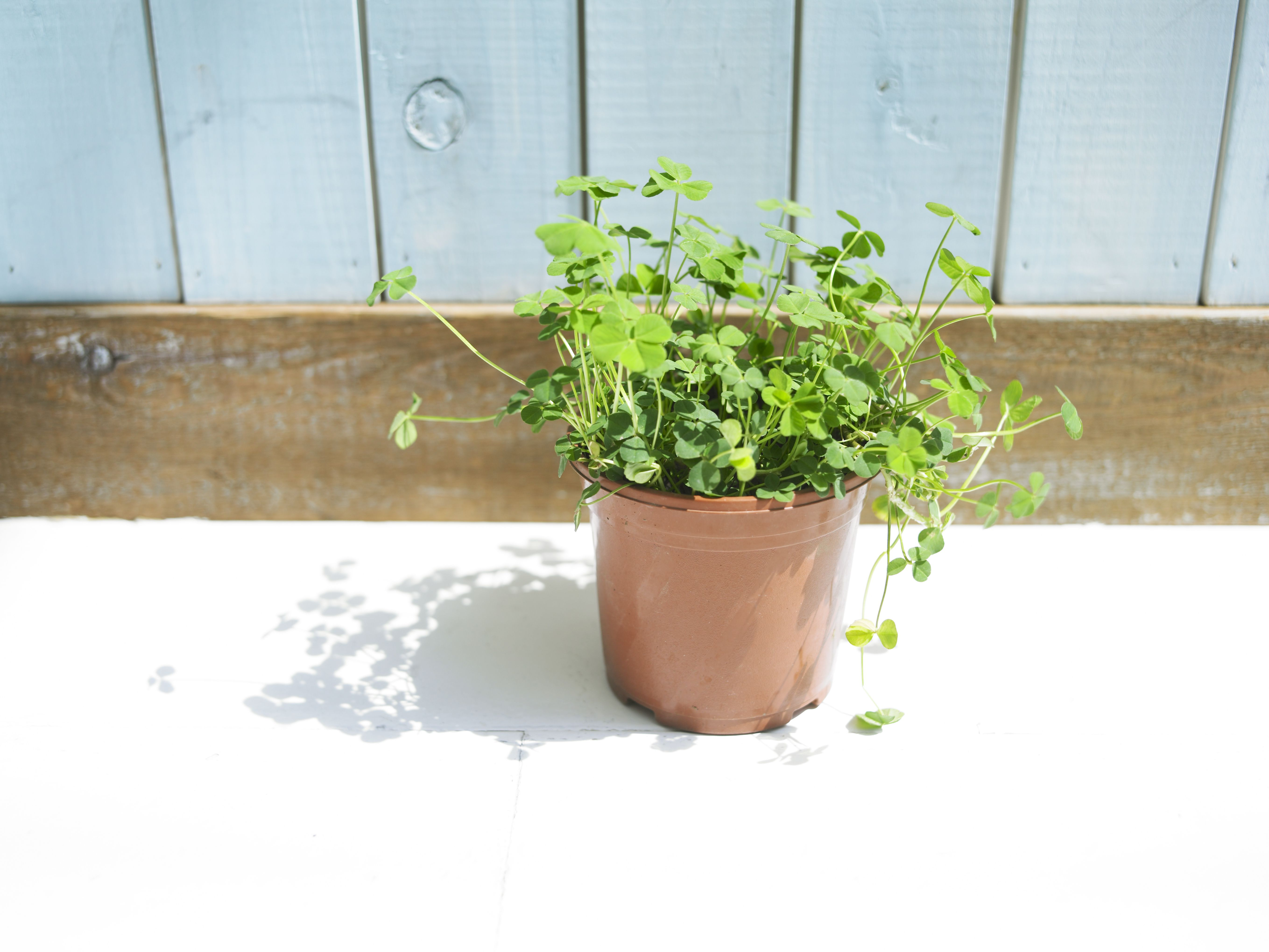 Potted Four Clover Plant