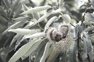 Chestnuts on the vine