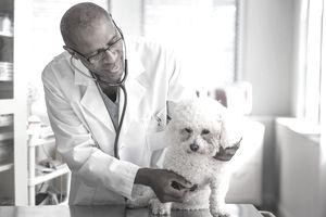 Black veterinarian examining dog in office