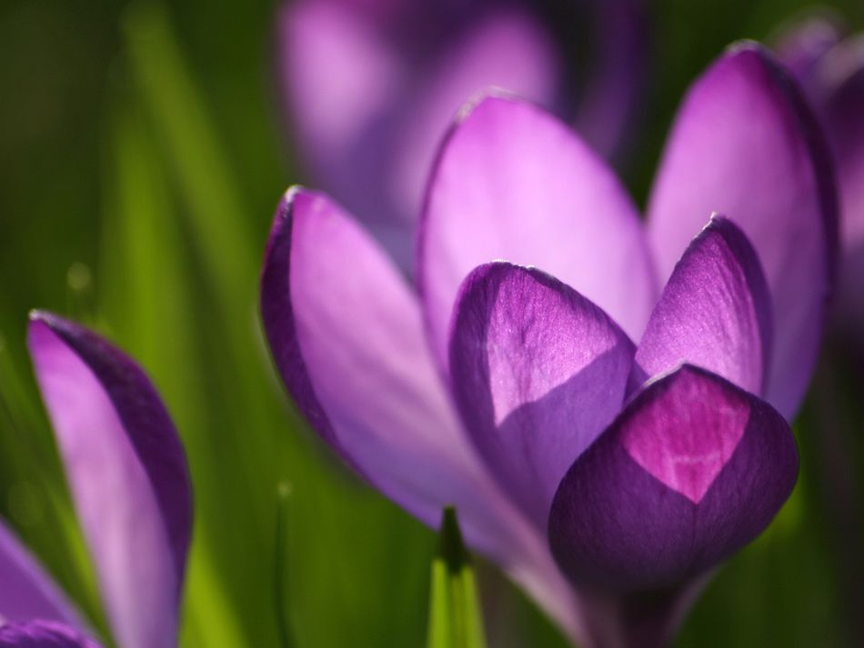 23 beautiful free spring wallpapers to bring you joy a close up of a purple crocus mightylinksfo