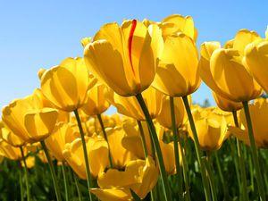 Yellow Tulips Reach Up Toward The Blue Sky