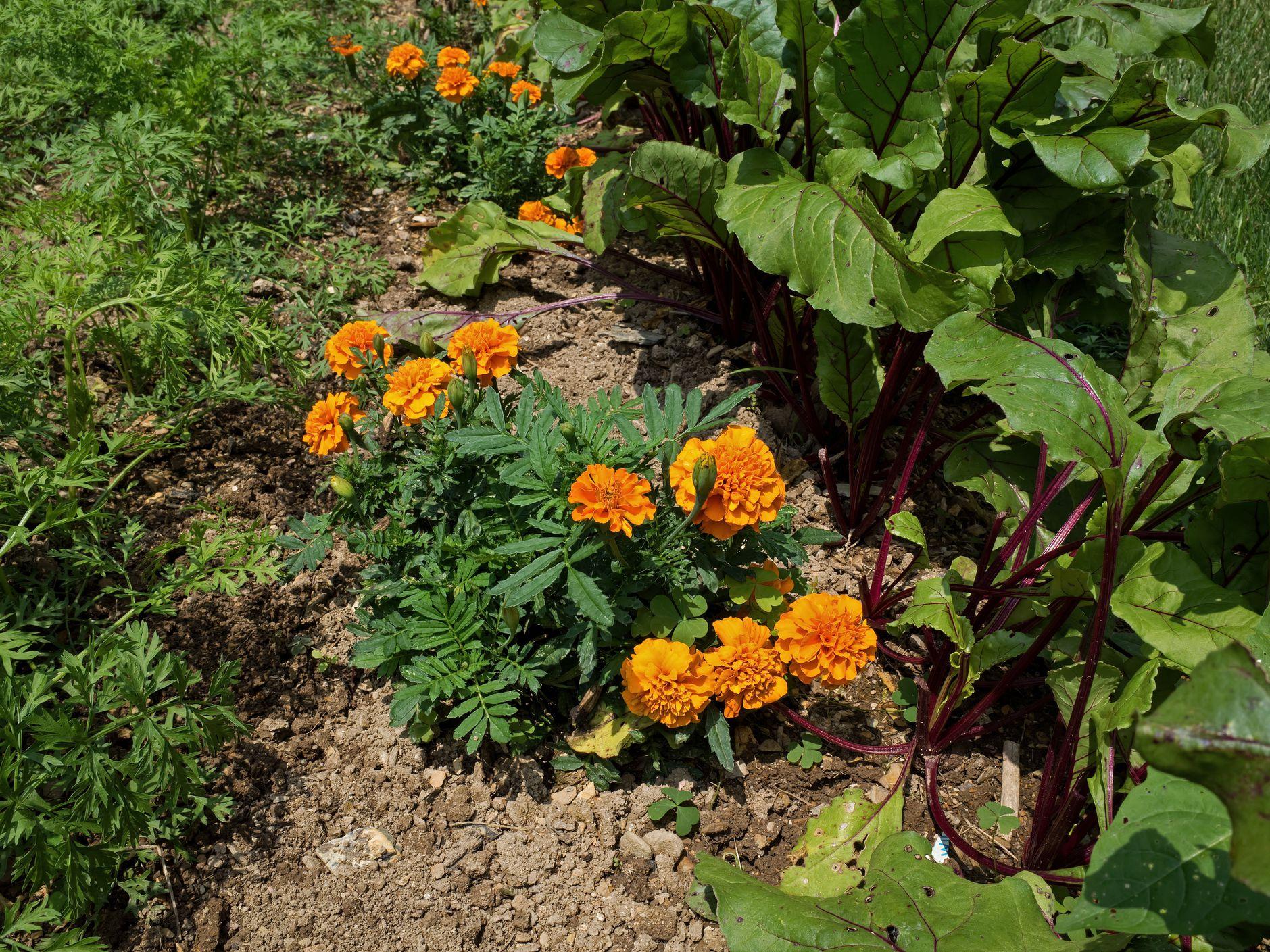 arugula companion plants